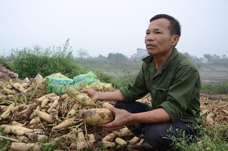 Người dân xã Tráng Việt ngậm ngùi mang củ cải vứt bỏ vì không bán được.