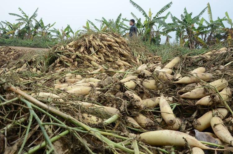 Hàng tấn củ cải bị vứt bỏ ven đường.