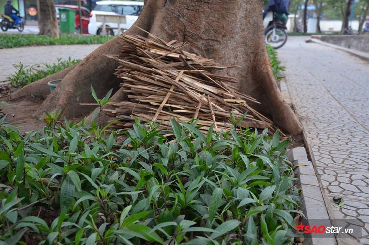 Que tre được chất ở gốc cây.