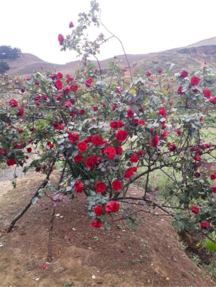Vụ cây hoa hồng cổ 20 năm tuổi bị đánh cắp: Xe bán tải màu đỏ bị nghi ngờ không liên quan đến vụ việc