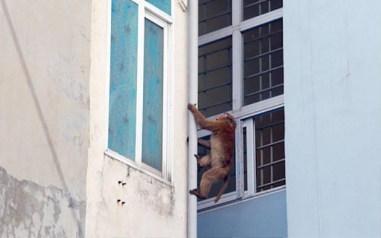 Con khỉ hoang đang leo trèo qua các nhà dân.