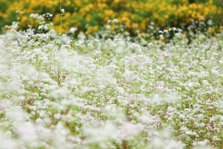 Hoa tam giác mạch nở đẹp nhất vào buổi sáng sớm bạn mới có thể cảm nhận hết vẻ đẹp của nó trọn vẹn.