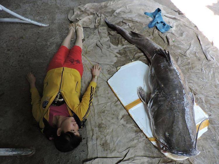 """Con cá lăng """"khủng"""" có chiều hơn gần 2,5 mét. Ảnh: Thanh Hải"""