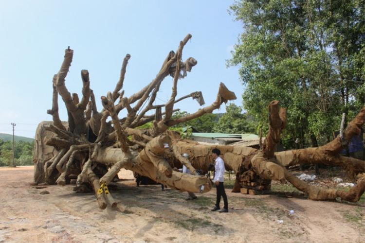 """Ba cây """"quái thú"""" đang bị Kiểm lâm Thừa Thiên - Huế tạm giữ. Ảnh: Dân Việt."""