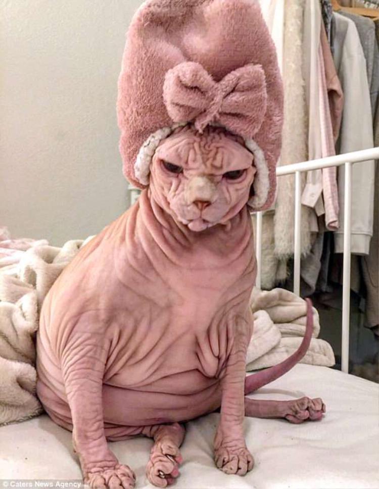 Xherdan thuộc giống mèo Sphinx hay còn gọi là mèo không lông Sphinx. Cái tên Sphynx được đặt theo tượng nhân sư (Sphinx) ở Ai Cập, vì loài mèo này có ngoại hình khá giống nhân sư trong truyền thuyết. Đây là một giống mèo được phát triển vào thập niên 1960 với đặc điểm cơ thân thể trần trụi, không có sợi lông nào, và là giống mèo đột biến tự nhiên, không qua cấy ghép. Sphinx được coi là giống mèo xấu nhất thế giới nhưng lại có giá rất đắt, có thể lên đến 3.000 USD/con.