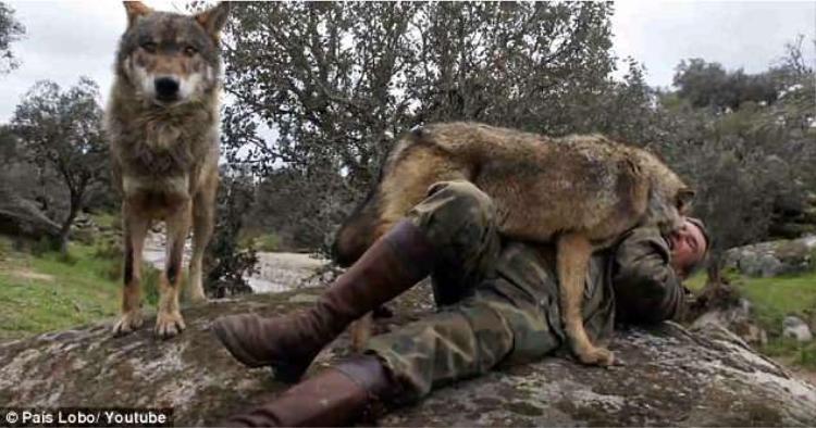 Pantoja trong một lần gặp lại đàn sói ngày xưa.