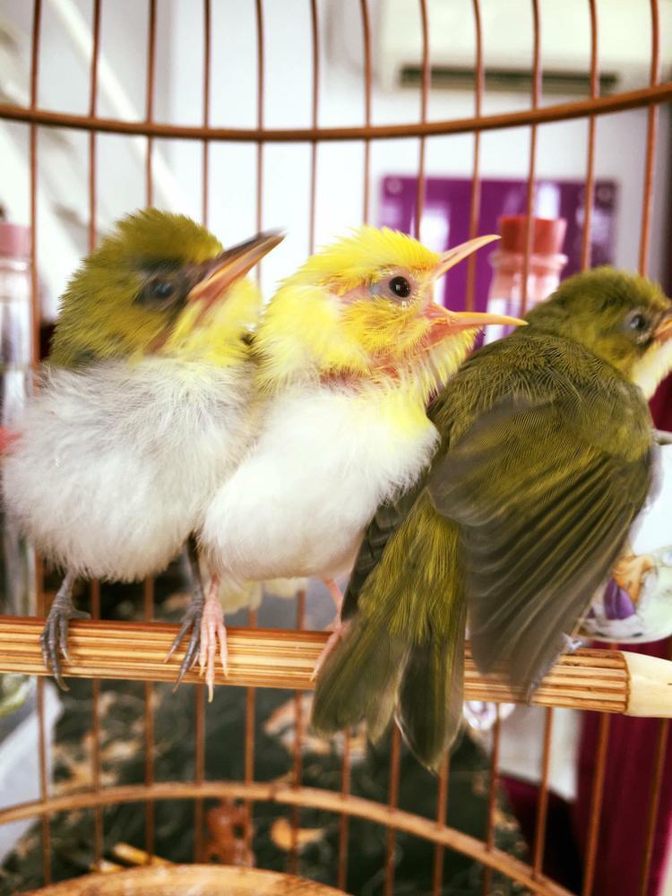 Một tổ chim khuyên trong đó có một con hoàng khuyên anh Chương đã phải cất công đi săn tìm.