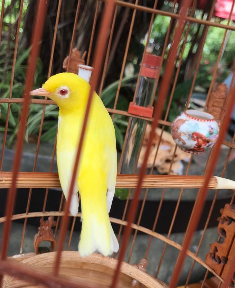 Tận thấy đàn chim quý giá 10 tỷ của ông vua chim màu Việt Nam: Nằm điều hòa, thuê bảo mẫu chăm sóc