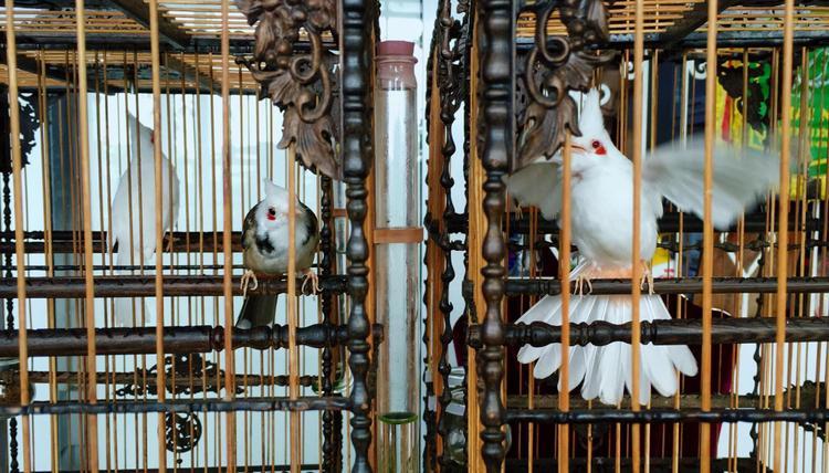 Những chú chim chào mào đang thi nhau hót, khoe bộ lông đẹp.