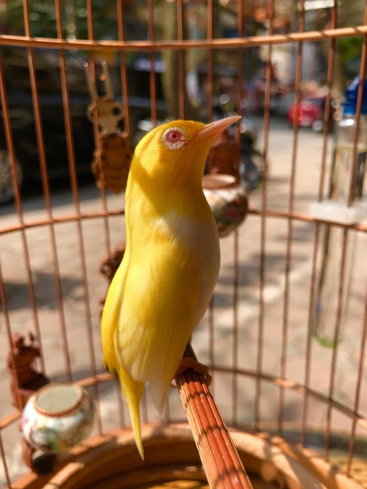 """Chú chim hoàng khuyên mắt đỏ """"cực độc"""" của anh Chương."""