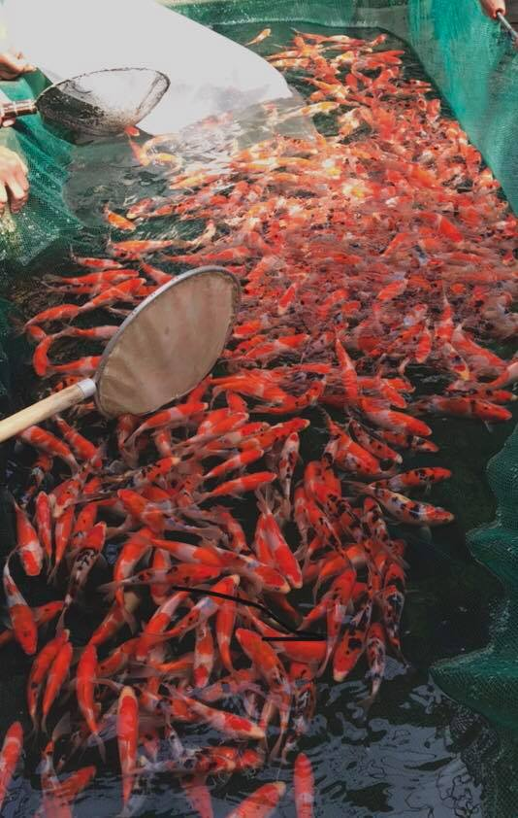 Trại cá Koi đủ loại đủ màu