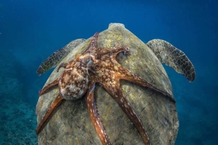 3. Bạch tuộc cưỡi rùa biển. Ảnh: ©Petaaa