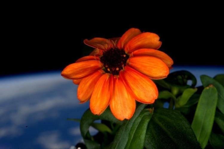 5. Bông hoa đầu tiên mọc trong không gian. Ảnh: ©Aceofspades25
