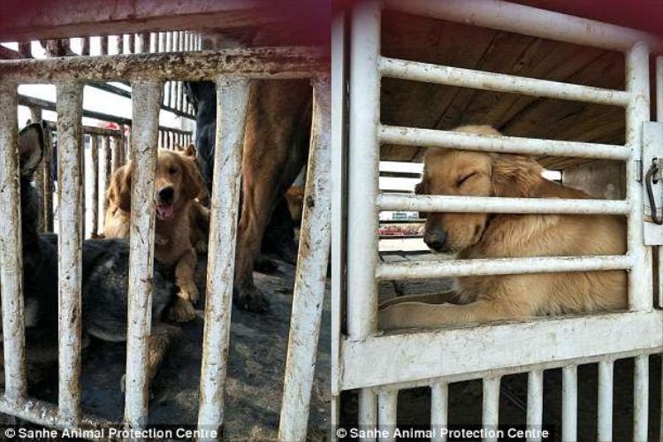 """Theo lời những người """"bán hàng"""", thịt chó trên thị trường có giá khoảng 60 tệ một kg. Ảnh: Sanhe Animal Protection Centre"""