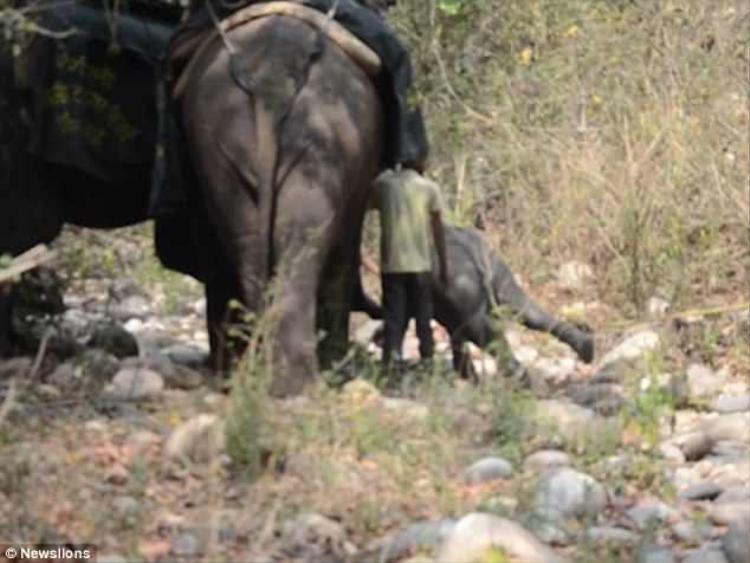 Theo đội kiểm lâm, voi mẹ bị chết do rơi xuống từ một ngọn đồi và cổ bị mắc vào cành cây.