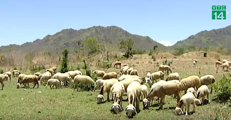Nắng nóng kéo dài khiến hàng trăm con cừu bị chết, nhiều hộ gia đình phải đối mặt với số nợ ngân hàng mà trước đó đã vay mượn lên đến cả trăm triệu đồng.