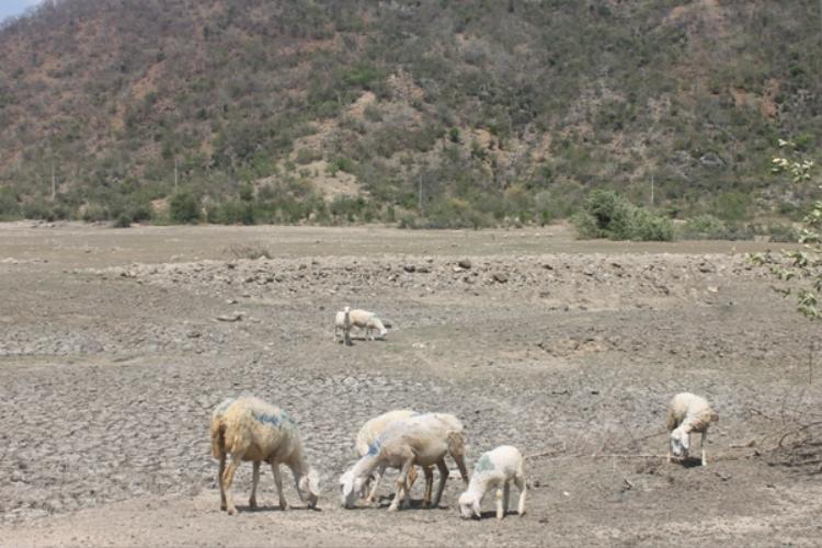 Đàn cừu tại xã Phước Trung đang thiếu thức ăn, nước uống. Ảnh Dân Việt.