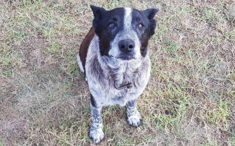 Dù mù và điếc một phần, chú chó Max vẫn kiên quyết bảo vệ cô chủ 3 tuổi. Ảnh: AFP/Kelly Benston