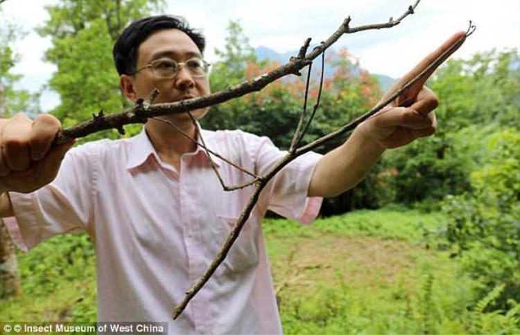 Trước đây, ông Zhao cũng bắt được một loài côn trùng lớn nhất thế giới. Đó là một con bọ que có chiều dài tới 64 cm, bằng chiều dài trung bình cánh tay của một người đàn ông.