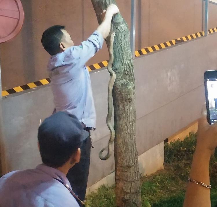 Con rắn hổ mang dài hơn 1m bị bảo vệ toà nhà bắt sống.
