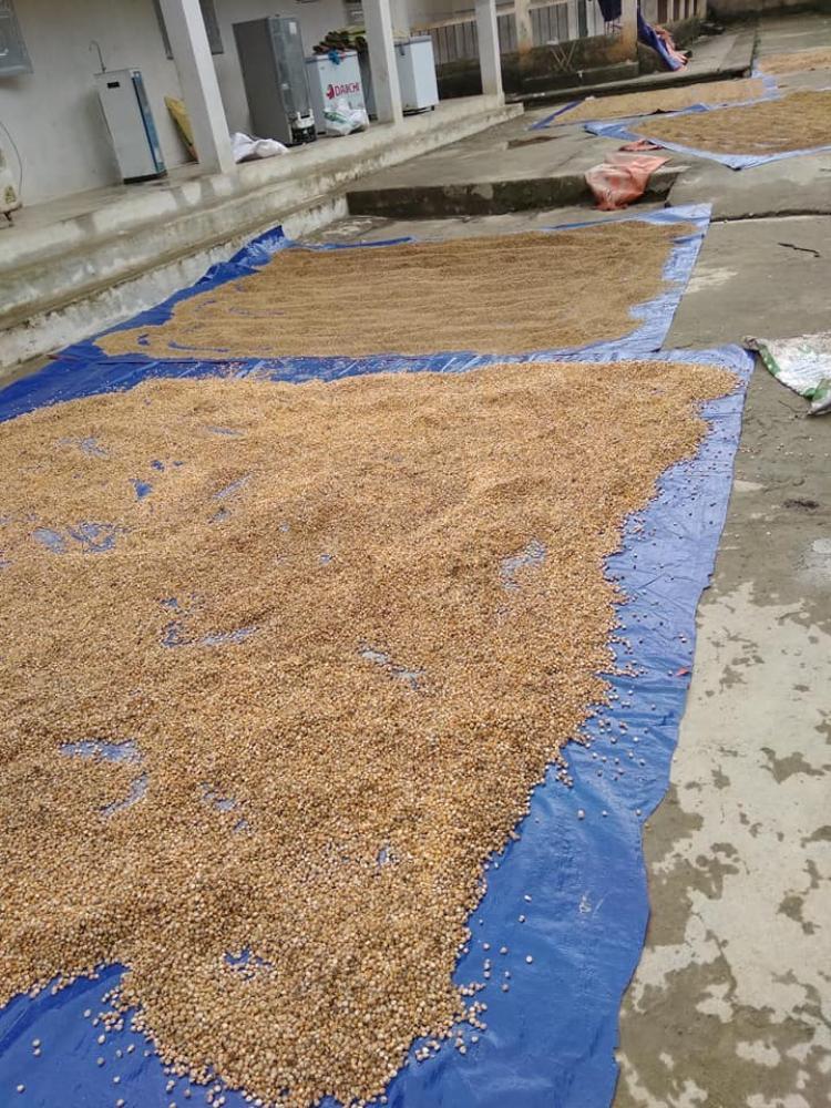 1 tấn gạo trong kho của trường Tiểu học Yên Cường 2 bị nước nhấn chìm. Thầy cô giáo mang gạo ra phơi, hy vọng còn giữ lại được chút gì đó cho các em học sinh. (Ảnh: Phạm Thể)