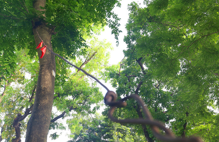 Hà Nội làm rào sắt, căng dây thép gai bảo vệ cây sưa đỏ
