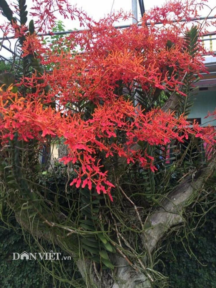 Chùm cây lan Phượng vĩ này được anh Đạt trồng 3 năm nay và để ngoài sân nhà.