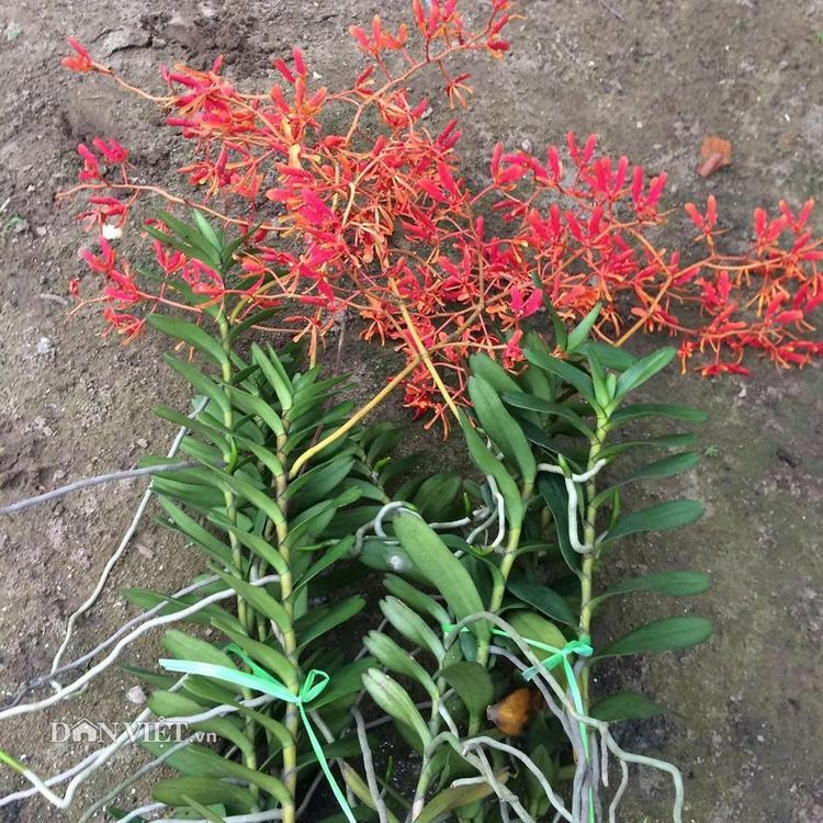 Lan phượng vĩ trồng khoảng 1 năm sẽ cho ra hoa. Đây là dòng lan bình dân, giá thành phù hợp với túi tiền của nhiều người, khoảng 100.000 đồng/cành giống.
