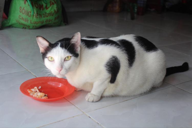 Chú mèo nổi bật vì cân nặng. Ảnh: Huỳnh Trang.