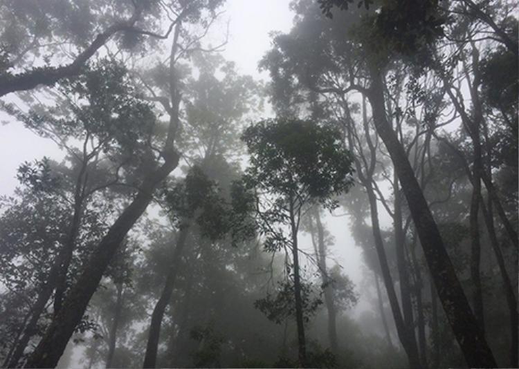 Quần thể cây pơ mu vừa được nhóm nghiên cứu Vườn Quốc gia Vũ Quang phát hiện trong quá trình thực địa. Ảnh: Đ.H