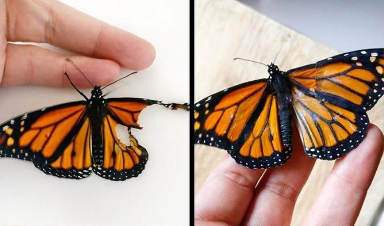 """Trước khi qua đời bởi căn bệnh ung thư quái ác, mẹ của Romy nói với cô: """"Bất kể khi nào con bắt gặp một con bướm, hãy nhớ rằng đó chính là mẹ đến thăm con"""". Kể từ đó, nhà thiết kế thời trang luôn ra sức bảo vệ loài bướm. Mỗi khi bắt gặp một con sâu bướm trong vườn, Romy đều bắt và đem chúng đến một nơi an toàn để có thể phát triển thành một con bướm xinh đẹp. Một lần tình cờ, Romy bắt gặp một con bướm bị dị tật cánh và không thể bay, cô đã sửa thành công cánh của con bướm cùng sự giúp đỡ của một người bạn. Cô chia sẻ: """"Lúc đầu tôi nghĩ nó không thể di chuyển được, nhưng khi tôi tiến lại gần con bướm đã cất cánh bay lên"""". Ảnh: Romy McCloskey/Facebook"""