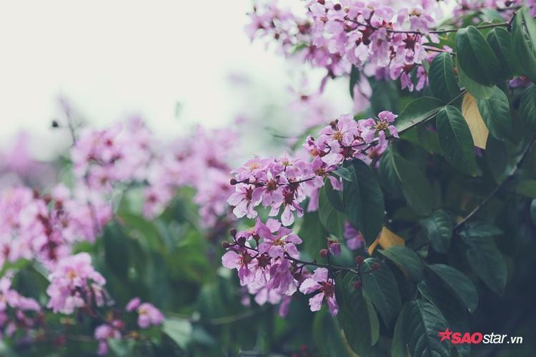 Được biết, mỗi bông hoa bằng lăng có 6 cánh, mỗi cánh dài chừng 2 đến 3,5 cm. Loại hoa này hiện được trồng nhiều ở Đông Nam Á, Ấn Độ và các vùng nhiệt đới khác.
