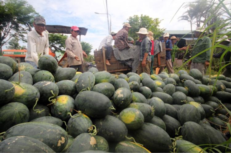 Dưa hấu được thu mua giá 3.000 đồng một kg, nông dân không phải bù lỗ. Ảnh: Đắc Thành.