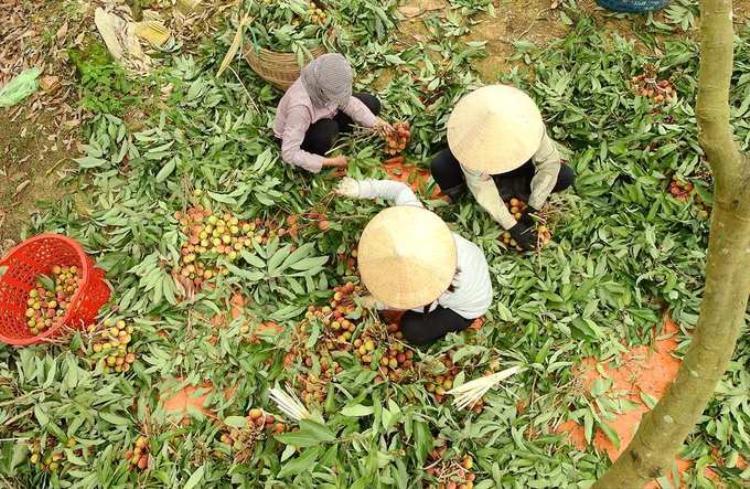 Năm nay vải lai Phương Nam được mùa hơn so với mọi năm. Nhà chức trách địa phương cho biết, năm 2018 toàn phường trồng 371 ha theo quy trình VietGAP. Sản lượng đạt khoảng từ 3.500 đến 4.000 tấn quả.