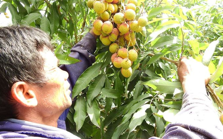 """Ông Trần Văn Dương (60 tuổi) cho biết, nhờ áp dụng tốt khoa học kỹ thuật, """"gia đình tôi trồng 170 cây vải, ước tính đạt 8 đến 10 tấn, cho thu nhập khoảng 300 triệu đồng. Còn năm 2017 chỉ đạt 200 triệu đồng""""."""