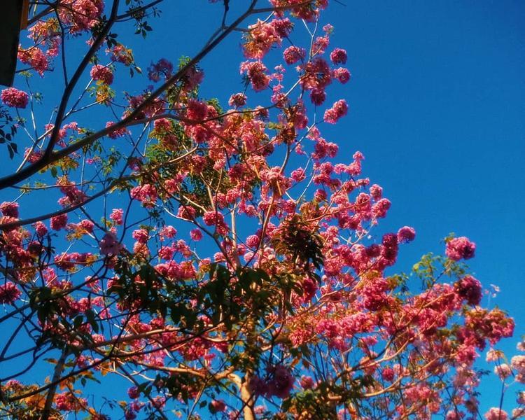 Nổ rộ được vài ngày nay, có những chùm hoa kèn hồng đã đến ngày tàn phai dưới ánh nắng gay gắt của mùa hè.