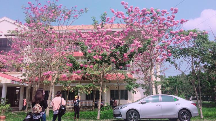 Khoa Sư phạm ĐH Cần Thơ là nơi được trường trồng nhiều hoa kèn hồng nhất.