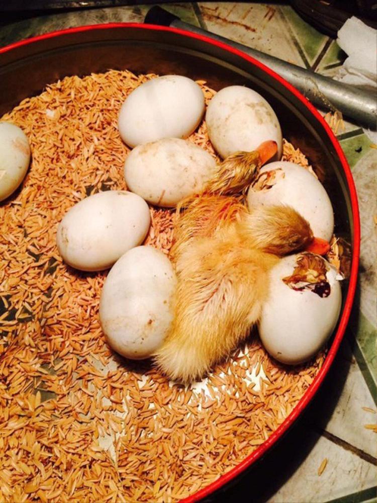 Chết cười cảnh cô gái mua trứng lộn về ăn nhưng chẳng may lại biến thành con sen của mấy chú vịt mới nở