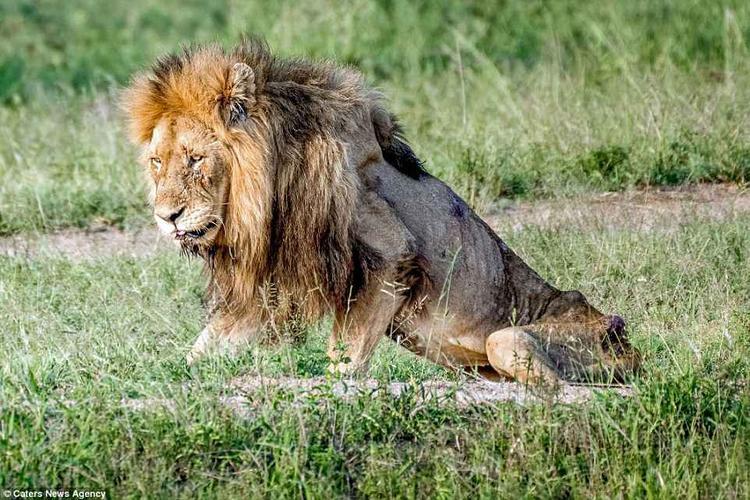 Trước đây,Skybed Scar là chúa tể, thống trị vườn quốc gia này nhiều năm, nhưng năm tháng qua đi khiến con sư tử cũng trở nên già cỗi, suy yếu và lìa đời.