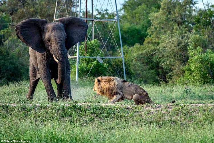 Cùng lúc đó, một đàn voi xuất hiện bên hố nước và một con voi khác đã tách đàn, tiến về phíaSkybed Scar, canh chừng nó để bảo vệ cả đàn voi. Ban đầu, con voi này phe phẩy hai cái tai và rống lên để đe dọa con sư tử. Sau đó, cả đàn voi cũng rống theo và chạy về phía con sư tử già tội nghiệp.
