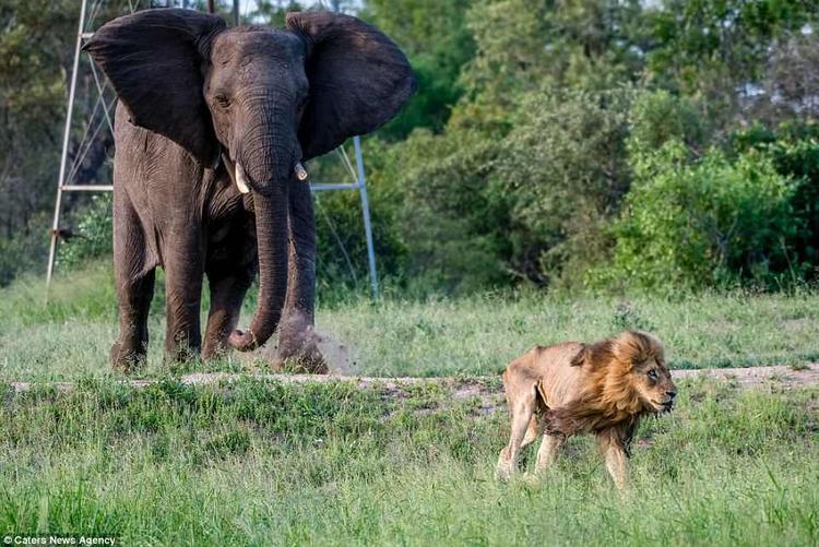 Với chút ít sức lực và hơi thở tàn, con sư tử già đành quay đầu bỏ chạy.