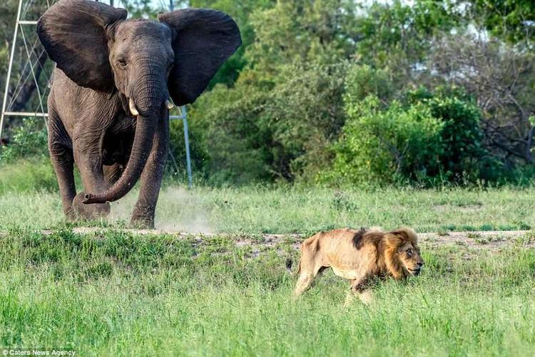 """Sau đó, nhiếp ảnh gia Lary cùng một người bạn lái xe đi tìm chú sư tử già thì phát hiện thấy nó đang nằm thoi thóp thở trong một bụi cỏ. """"Chúng tôi đặt camera xuống và nhìn vào mắt nhau, tự nhủ đây chắc chắn là một khoảnh khắc bất diệt. Tôi chỉ muốn con sư tử biết rằng, nó sẽ không ra đi trong cô độc. Sau đó, con sư tử co giật và trút hơi thở cuối cùng. Chúa tể rừng xanh đã lìa đời"""", ông Lary chia sẻ."""
