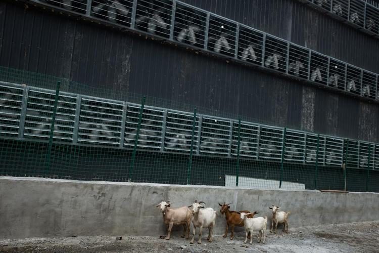 Một đàn dê của người dân một làng gần đó đi qua hệ thống quạt tản nhiệt của nhà máy.