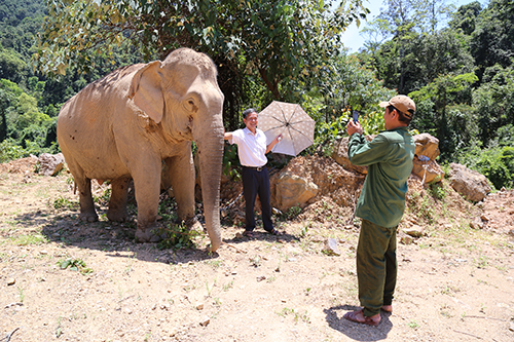 Lâm trường Khe Giữa, đơn vị quản lý, đang kiến nghị trả lại voi cho tỉnh Quảng Bình nhằm phục vụ du lịch. Ảnh: Hoàng Táo