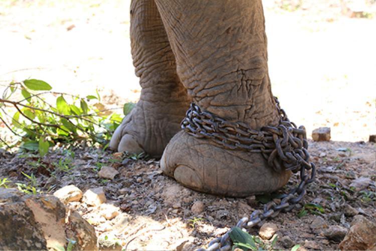 Vào buổi sáng, anh Tân theo dấu xích để tìm voi đưa về bãi chăn thả, đến đêm lại để voi đi tự do. Ảnh: Hoàng Táo