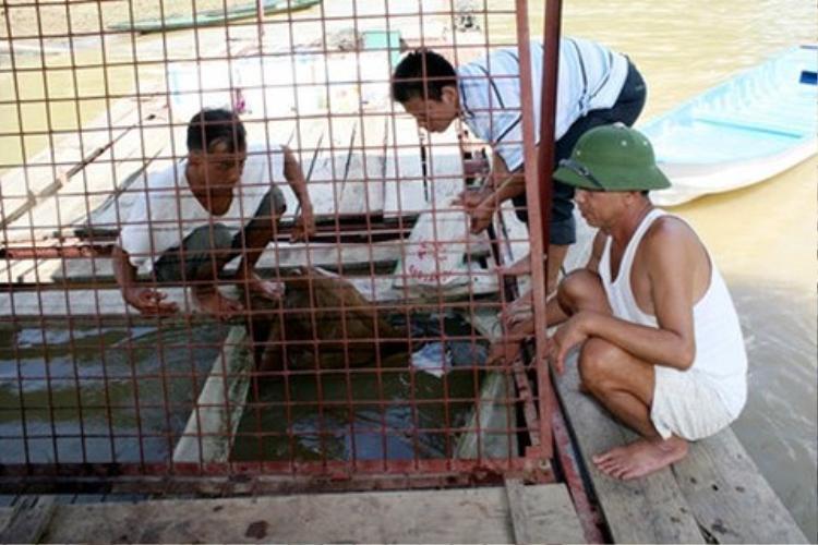 """Ông Nguyên, ông Hà đang chỉnh trang lại lồng nuôi nhốt, nơi thuần phục loài """"thủy quái"""" trên sông Gâm."""