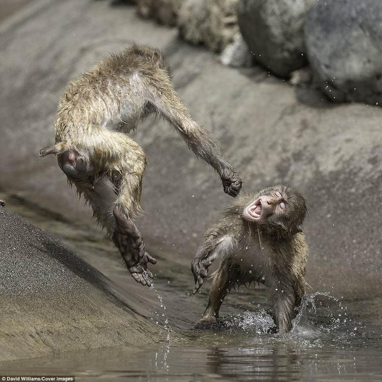 Khoảnh khắc vui nhộn hiếm có này được nhiếp ảnh gia người Anh David Williams chụp tại sở thú Tama ở Tokyo, Nhật Bản.