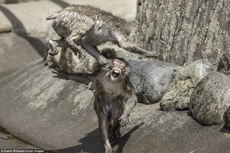 """Những chú khỉ tuyết bay lên không trung, dùng """"đủ loại võ thuật"""" để tấn công đối thủ."""