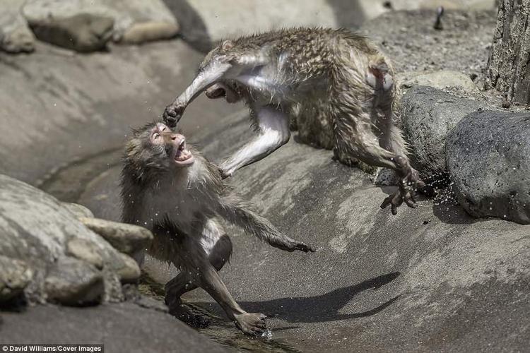 """""""Bức ảnh này cho thấy khoảnh khắc hoàn hảo của một con khỉ vừa nhảy lên vừa tung cú đấm cùng một lúc. Tôi thậm chí không nhìn thấy điều này vì mọi việc diễn ra quá nhanh. Tôi đã rất ngạc nhiên khi về nhà xem lại ảnh"""", nhiếp ảnh gia David nói."""