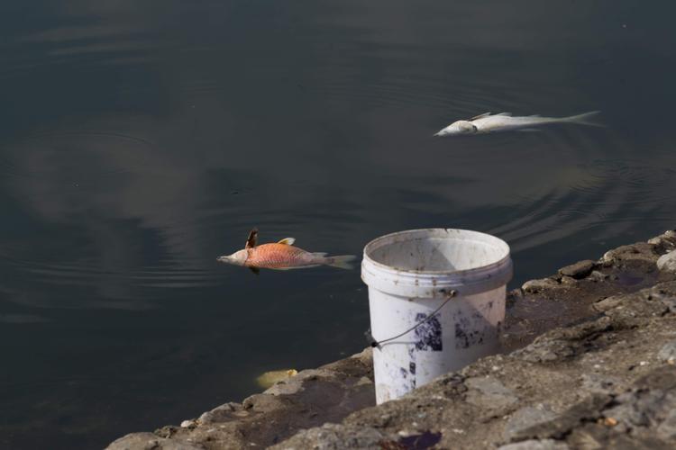 Cá chết gây mùi khó chịu cho nhiều hộ dân sinh sống xung quanh khu vực hồ và người đi đường qua khu vực này.